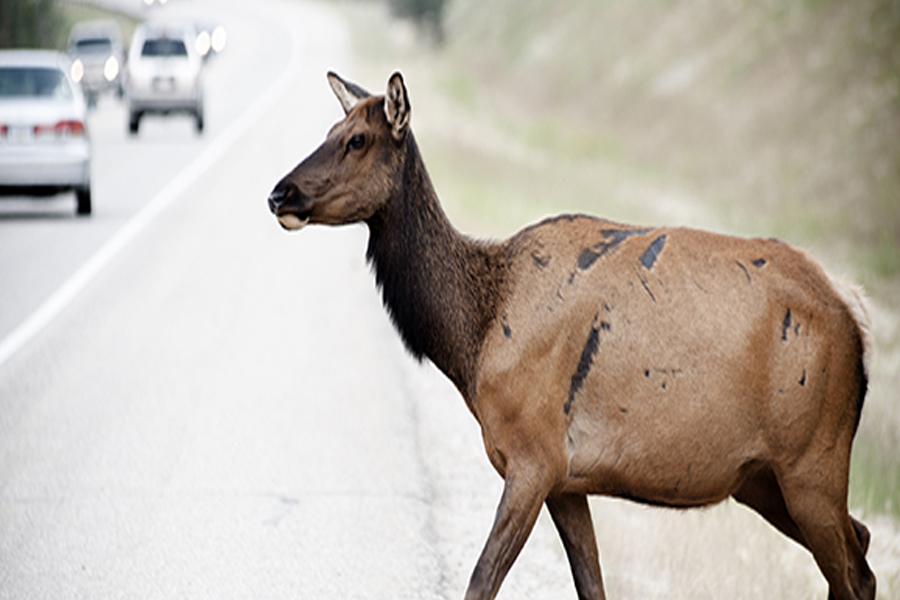 Wildlife Crossing: Tips to Avoid Animal-Vehicle Collisions